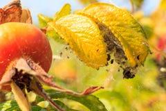 Le fruit sauvage s'est levé dans l'arrangement naturel extérieur Image stock