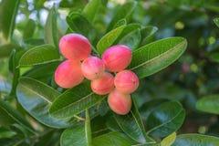 Le fruit tropical, rose, a un goût doux, mais quand le fruit mûr a un goût aigre images libres de droits