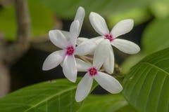 Le fruticosa de Kopsia est un bouquet des fleurs avec de beaux roses de floraison images stock