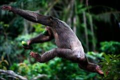 Le fughe dello scimpanzè. Fotografia Stock Libera da Diritti