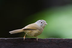 Le fulvetta gris-cheeked Photo stock