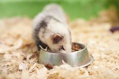 Le furet gris-clair mange de la cuvette photographie stock libre de droits