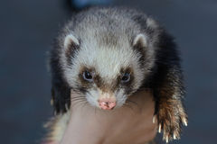 Le furet sur la main Photo stock
