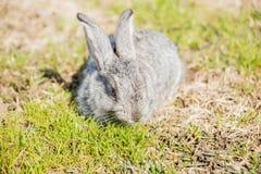 Le géant flamand est une race de lapin domestique sur le fond blanc Une série d'images image stock