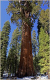 Le Général Sherman Tree, la Californie, Etats-Unis Images stock