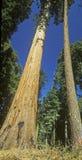 Le Général Sherman Tree, parc national de séquoia, la Californie Photos stock