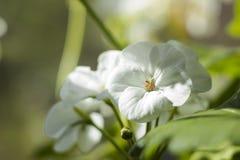 Le géranium blanc, fleur de pélargonium avec les propriétés médicinales sont sur le rebord de fenêtre photographie stock libre de droits