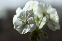 Le géranium blanc, fleur de pélargonium avec les propriétés médicinales sont sur le rebord de fenêtre photos stock