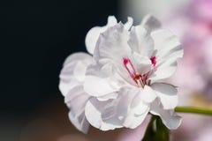 Le géranium blanc fleurit avec le fond de bokeh - fleur typique de balcon Images stock