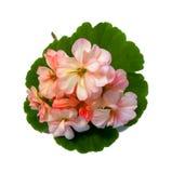 Le géranium fleurit sous forme de roses fraîches sur la feuille verte, Photos stock