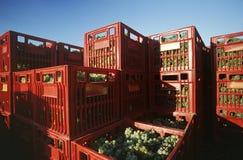 Le gabbie di plastica hanno riempito di valle raccolta Victoria Australia di Yarra degli acini d'uva di Chardonnay fotografia stock libera da diritti