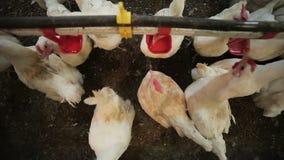 Le galline bianche superiori bevono l'acqua dalle ciotole rosse sull'azienda agricola video d archivio