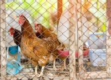 Le galline di Brown è nella gabbia primo piano della foto Immagini Stock