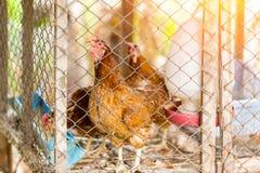 Le galline di Brown è nella gabbia primo piano della foto Fotografia Stock