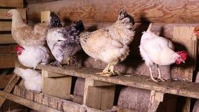 Le galline nel pollaio stock footage