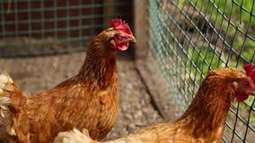 Le galline rosse camminano in una penna dell'estate scrutando nella macchina fotografica Gallo pollo video d archivio