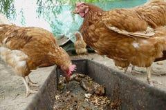 Le galline si alimentano il cortile rurale tradizionale Gallina che sta nell'erba sul giardino rurale in campagna Chiuda in su de immagini stock libere da diritti
