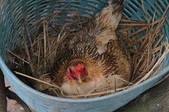 Le galline stanno incubando le uova nel nido Immagini Stock