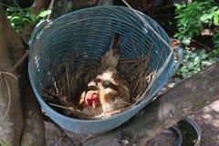 Le galline stanno incubando le uova nel nido Fotografia Stock