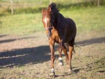 Le galop de cheval puissant libèrent en bandeau de pré Images stock