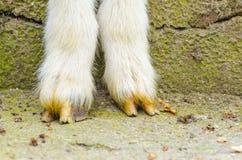 Le gambe della capra si chiudono su Immagine Stock