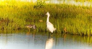 Le gambe gialle incontrano il sig. Egret fotografia stock