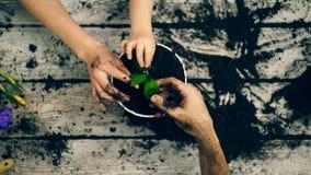Le garçon aide des parents à planter des fleurs dans des pots pendant l'été Mains en gros plan qui plantent des fleurs banque de vidéos