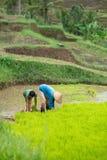 Le garçon aide un adulte avec du riz de nettoyage sur le champ image libre de droits