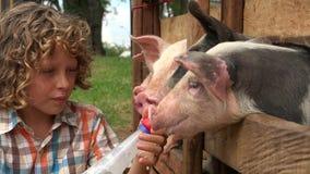 Le garçon alimente le lait aux porcs banque de vidéos