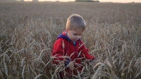 Le garçon court le long du champ de blé, la période du coucher du soleil Sport en plein air banque de vidéos