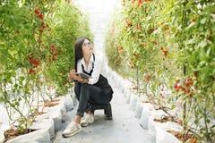 Le gardender d'Asain étudient la tomate de qualité photos stock