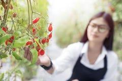 Le gardender d'Asain étudient la tomate de qualité photographie stock