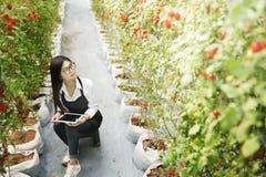 Le gardender d'Asain étudient la tomate de qualité photo libre de droits