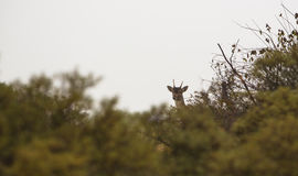 Le gardien de cerfs communs affrichés Image stock