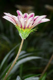 Le Gazania fleurit (les ringens de Gazania) Photo libre de droits