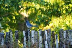 Le geai bleu Photographie stock libre de droits