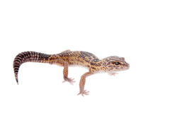 Le gecko à queue adipeuse iranien d'isolement sur le blanc images libres de droits