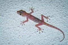 Le gecko coloré avec de grands yeux s'élevant et chassant vole images stock