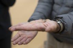 Le gecko dans a équipe la main images libres de droits
