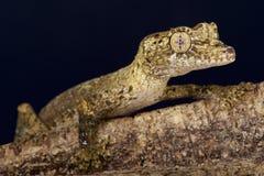 Le gecko de Gunther/guentheri feuille-coupés la queue d'Uroplatus images libres de droits