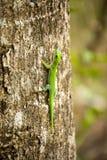 Le gecko de jour du Madagascar, madagascariensis de Phelsuma est le Madagascar vert, dans la réservation Tsingy Ankarana, Madagas image stock