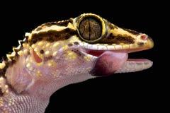Le gecko de Lothara (lohatsara de Paroedura) photographie stock