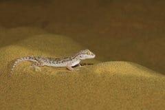 Le gecko de sable de Sind, orientalis de Crossobamon abandonnent le parc national image stock