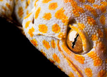 Le Gecko de Tokay Photo stock