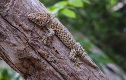 Le gecko de Tokay s'accroche dans un arbre sur le fond brouill? image stock
