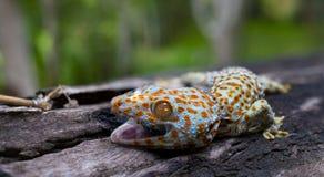 Le gecko de Tokay s'accroche dans un arbre sur le fond brouill? photos stock