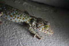 Le gecko est animal peut-être Photo libre de droits