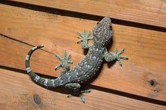 le gecko est peau le bleu-clair et orange sur le mur en bois photos libres de droits