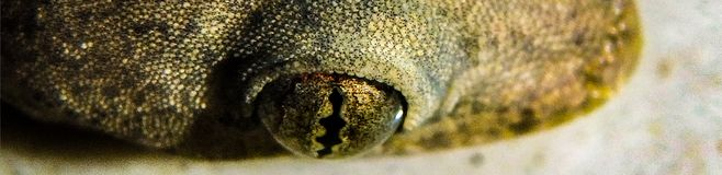 Le gecko minuscule qui a vécu dans ma cuisine photo stock