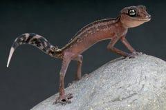 Gecko moulu gracieux/Paroedura du Madagascar gracilis photographie stock